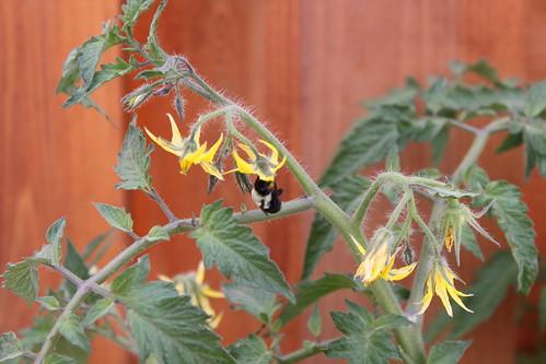 Visiting bumblebee