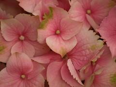Detalle de Hortensia (Hydrangea ) 2010 (Javier Garcia Alarcon) Tags: pink hydrangea bluebird hortensia summerforever beautevendomoise bluebonnetveitchiililicananikko blueendless