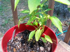Green thumb, green pepper