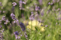 Looks like it Will be a Hazy Hot Summer (hotes trinkets/DaydreamingKat) Tags: flowers columbus ohio flower yellow bokeh lavender flore lavenderblue straightfrommycamera nocolorsadded sonyalphadslra700 absolutelynatural hotestrinkets lavenderandyellowfield