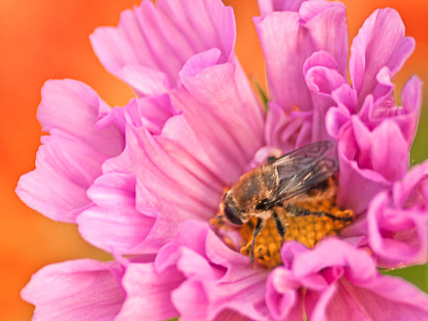 Bee Pollinating Pink ZInnia