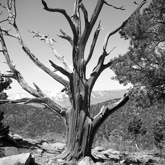 Tree (missiletest) Tags: park blackandwhite bw mamiya tlr film mediumformat utah nationalpark 120film 55mm zion grayscale zionnationalpark greyscale twinlensreflex mamiyac330 kolobcanyons c330 mediumformatfilm timbercreekoverlook