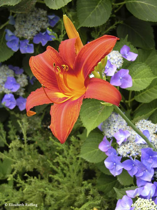 Orange daylilies with blue lace-cap hydrangeas