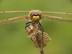 Orthetrum coerulescens ♀
