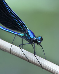 Ebony Jewelwing (Dah Professor) Tags: insect nj swamp damselfly greatswamp wildernessarea thegreatswamp kh0831