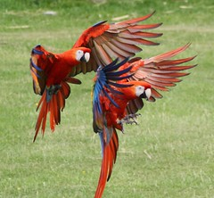 Applying the brakes (keepinsidethelines) Tags: whipsnadezoo scarletmacaw