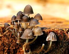 Macro mushrooms on bark (Geoff Penaluna) Tags: macro closeup nikon dof bokeh melbourne victoria 105mm micro105mm d700 nikkor105mmf28gvrmicro nikond700 fotocompetition fotocompetitionbronze