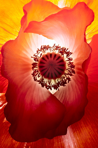 Light of the Poppy