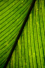 Big Palm Leaf