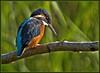 Kingfisher. (anthonynixon17) Tags: kingfisher warwickshire sigma50500 brandonmarsh olympuse510 carltonhide
