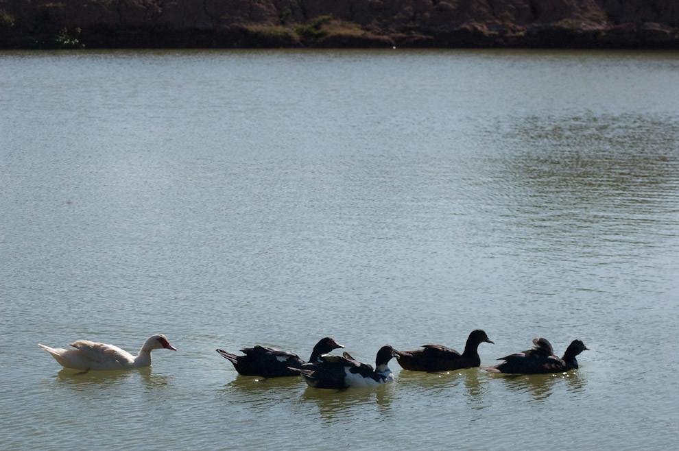 Patos domésticos son criados y mantenidos en el estanque del Hotel Pioneros (Elton Núñez - Cruce Pioneros, Paraguay)