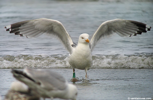 European Herring Gull, adult, G[Y.AHA]