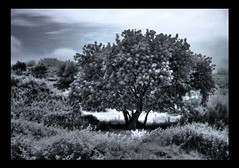 Is this the place? (ColdSummerPics) Tags: tree canon ir eos surreal filter infrared albero hoya filtro 500d r72 surreale infrarosso 720nm frombeyond coldsummerpics daaltrove salvobombara