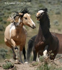 Stallions chasing (Aphelion Art) Tags: wild horse oregon america steens mustang southsteens