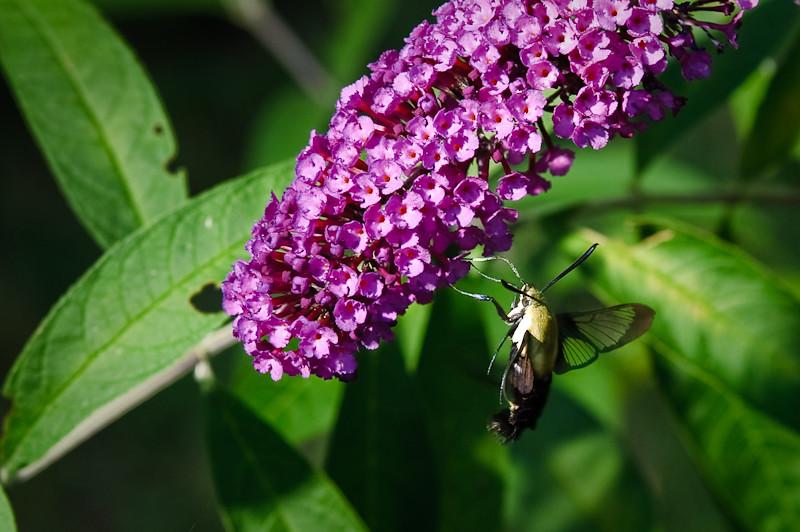 Day 254: Hummingbird Moth