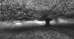 Tree.(Explored # 5 Thank you) (paul.scott103) Tags: bw tree dapagroupmeritaward dapagroupmeritaward3