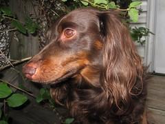 Long-Snout (Tobyotter) Tags: dog chien pet hound canine dachshund perro hund link wienerdog dackel teckel k9 doxie sausagedog aplaceforportraits pointyfaceddog