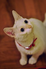 小白 (Rosanna Leung) Tags: pet white animal cat kitty wah 動物 寵物 貓 小白 貓咪 白色 華華