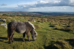 Grazing Dartmoor Pony (Alastair Cummins) Tags: grass eating pony devon moor dartmoor grazing
