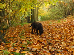 Harley with an Autumn Carpet! (Alex Staniforth: Wildlife/Nature Photography) Tags: autumn dog alex leaves labrador chocolate casio staniforth exfh20