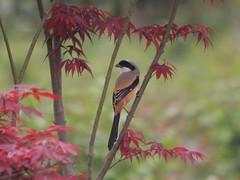 Rostgumpad törnskata Long-tailed Shrike (Lanius schach) (Bjorn Johansson) Tags: china shrikes rostgumpadtörnskata longtailedshrike laniusschach