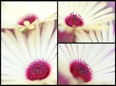 All Three (haberlea) Tags: garden mesembryanthemum flowers yellow custard vanilla raspberry pink pale pastel nature gentle three mosaic plants mygarden frame border