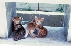Pssst! (Nikos.K.) Tags: kittens cats pets animals chanea greece 2017 kodakretinaii rodenstockheligon5cmf2 expired film agfaoptima125
