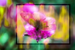 Arco iris (seguicollar) Tags: imagencreativa photomanipulación art arte artecreativo artedigital virginiaseguí mariposa color colorido arcoiris amarillo yellow pink rosa