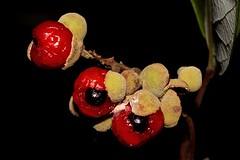 Alectryon coriaceus (andreas lambrianides) Tags: alectryoncoriaceus sapindaceae beachalectryon beachbirdseye australianflora australiannativeplants australianrainforests australianrainforestplants australianplants qrfp nswrfp arffs arfp redarffs littoralarf alectryon beachtamarind australianrainforestfruitsandseeds australianrainforestseeds australianrainforestfruits aril redaril