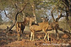 ADS_000006913 (dickysingh) Tags: india landscape scenery outdoor scenic deer aditya ranthambore singh sambar ranthambhore dicky adityasingh ranthamborebagh theranthambhorebagh wwwranthambhorecom