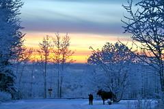 street life (manywinters) Tags: winter alaska moose noon fairbanks winterlight endofmystreet