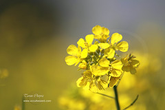 Mustard (Tarun Chopra) Tags: portrait india macro nature canon photography asia wizard 7d greatshot dslr gurgaon purchase bharat newdelhi touristattractions photograpy canoncamera mustardflower nicecomposition hindustan greatcapture harshil alwar indiaimages perfectcomposition traveltoindia superbshot superbphotography fantasticimage betterphotography discoverindia makemytrip hindusthan earthasia smartphotography canon7d canonefs55250mmf456islens mustseeindia 7dcanon efs55250mmcanonlens canon7dphotos canon7dbestshots discoveryindia buyimagesofindia