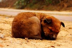 [フリー画像] [動物写真] [哺乳類] [イヌ科] [犬/イヌ] [子犬] [寝顔/寝相/寝姿]     [フリー素材]