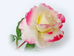 rose... (Lyubov) Tags: flowers rose fantasticflower ilroseto