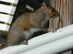 Squirrel (Memotions) Tags: usa nature america mammal squirrel florida north january patty 2010 dunnellon ohearn memotions kickham