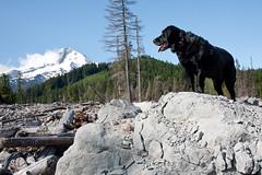 IMG_5360 (Liza Carlson) Tags: dogs animals oregon forest rocks labrador or stripe mthood pacificnw cascademountainrange mthoodnationalforest