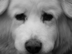 Rest in Peace sweet baby girl (PamiKnows) Tags: dog pet white sweet hush loved mixedbreed imissu
