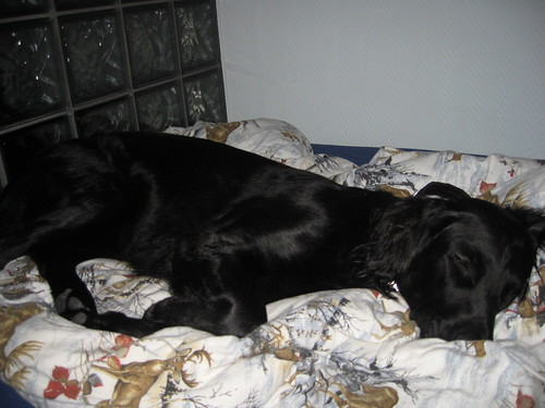 Day 10 Found my dog Luna asleep IN MY BED when I came down to my room the other night!