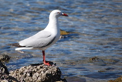 Silver Gull Whits (tkmckinn) Tags: birds australia july09