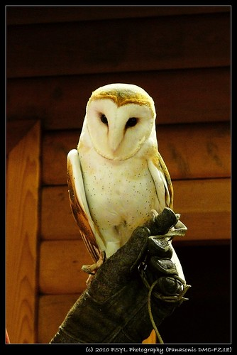 Curious George the Barn Owl (Tyto alba)