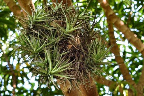 Tillandsia tenuifolia (rq) - 01