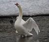 Stretch (iloverealestate) Tags: swans impressedbeauty impressedbyyourbeauty