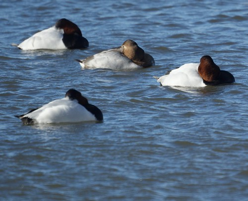 Canvasback Ducks Resting