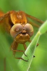 Broad Scarlet - Crocothemis erythraea - Vuurlibel (henk.wallays) Tags: scarlet belgium belgique belgie dragonflies dragonfly broad libelle libellula flandres odonata vlaanderen トンボ libel erythraea odonate crocothemis vuurlibel