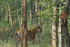 Tiger in Pench - India (Ami 211) Tags: india tiger bigcats pench panthera pantheratigris felidae pantherinae