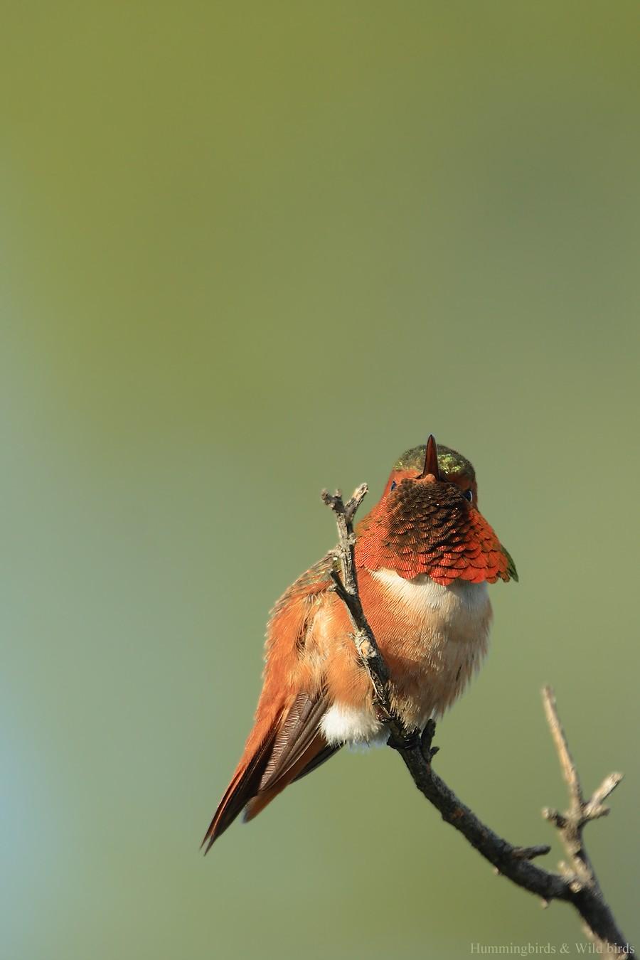 Allen's Hummingbird 01101-109