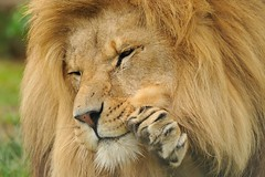 Lion Waving (Ami 211) Tags: lion bigcat bigcats panthera pantheraleo felidae pantherinae