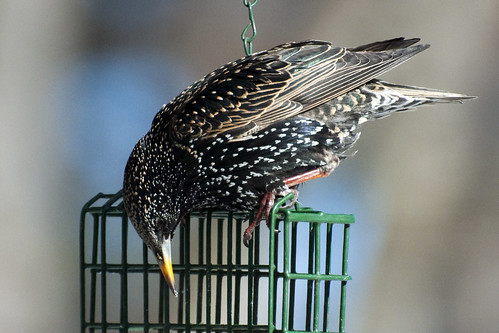 starling suet again