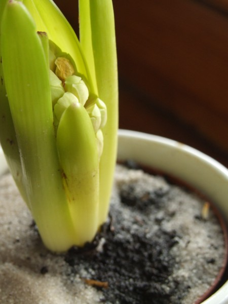 A hyacinth sprouting