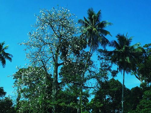 IMG_8406 Cotton Tree